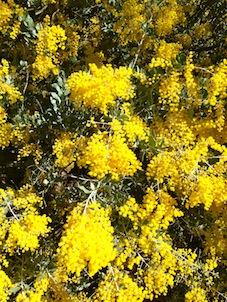 Wattle in my garden today