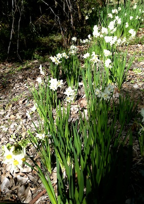 Jonquils - Spring is here already!