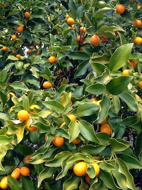Cumquats ready to pick