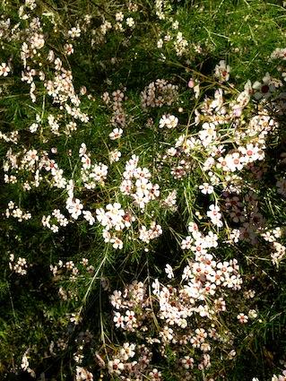 Geraldton wax - harbingers of Spring
