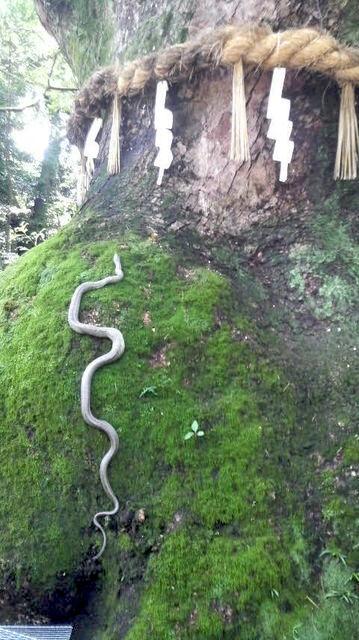 Sacred white snake in Japan