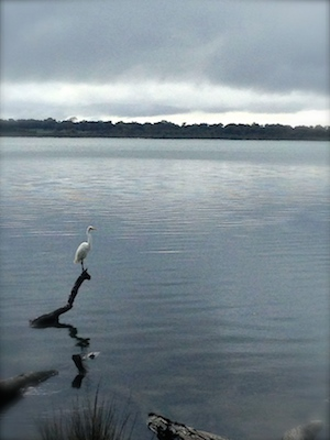 Egret I met this morning at Warrungup Spring